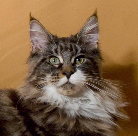 femmina di maine coon