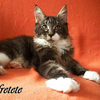 Foto maine coon brown tabby con bianco