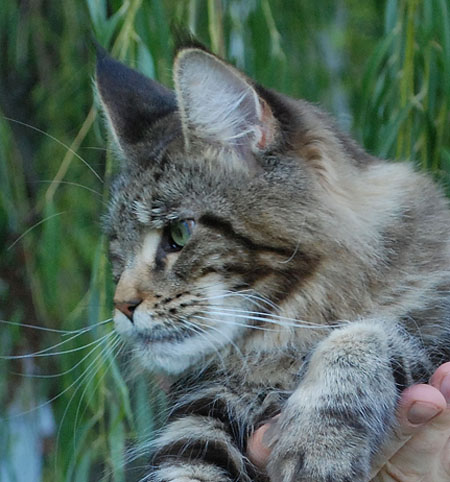 femmina maine coon brown tabby